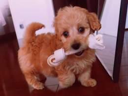Gold Doxiepoo Puppy