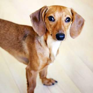 Doxle Dog Breed Everything About Beagle Dachshund Mixes