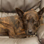 Dutch Shepherd Resting