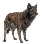 Gold Brindle Long Haired Dutch Shepherd