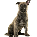 Gold Brindle Wirehaired Dutch Shepherd Puppy