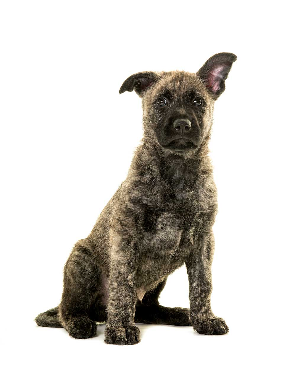Dutch Shepherd: photo and description of the breed, characteristics, characteristics of the content and education 24