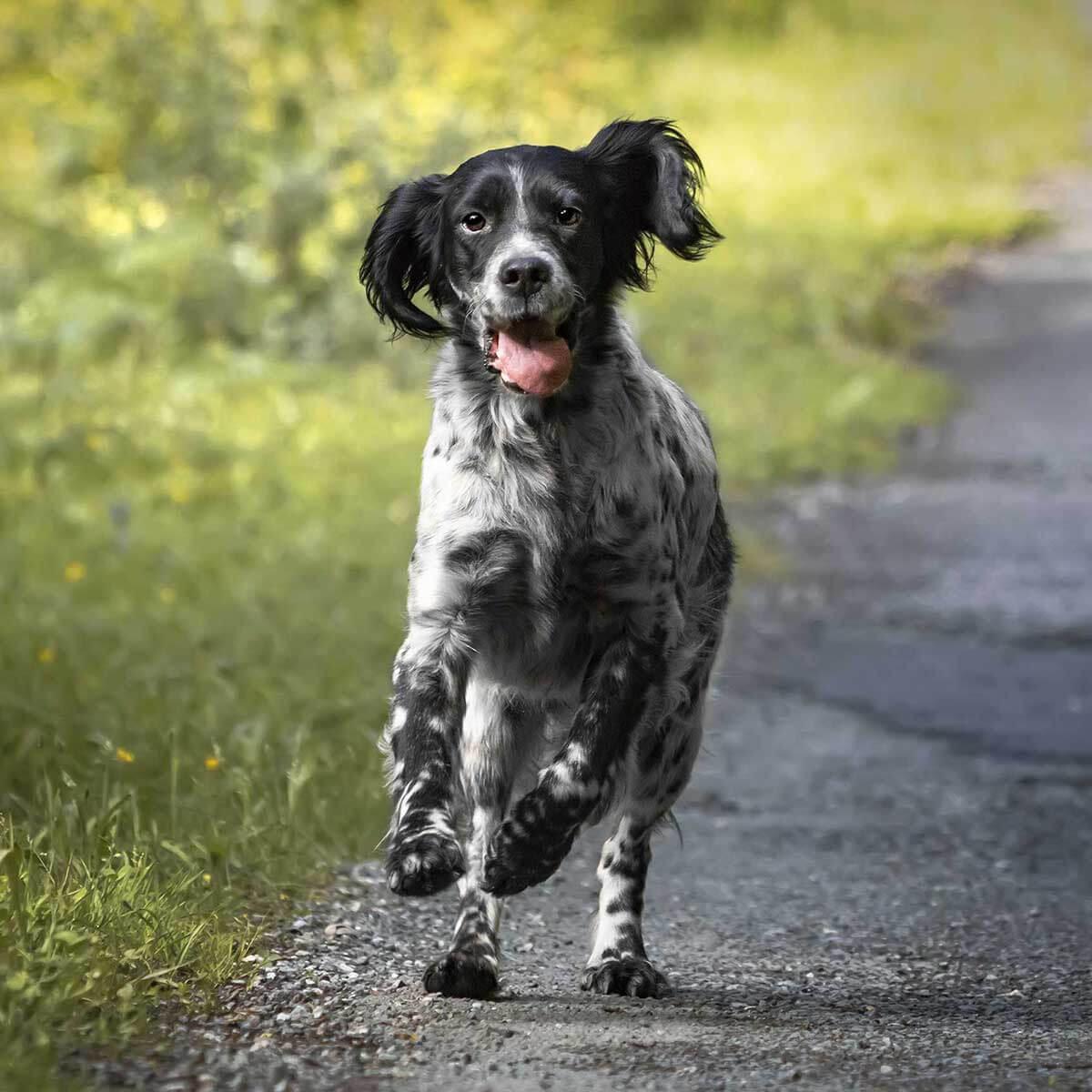 English Setter Dog Breed Everything About English Setter