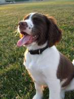 Liver & White English Springer Spaniel Puppy