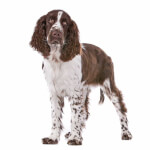 Liver & White English Springer Spaniel
