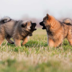 Fawn Eurasier Puppies