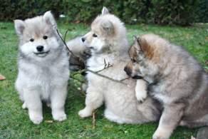 Wolf Grey Eurasier Puppies