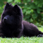Black Eurasier Puppy