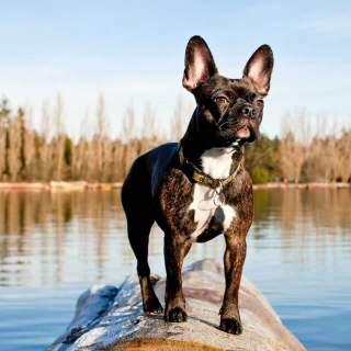 Brindle Frenchton (Faux Frenchbo Bulldog)