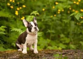 Black & White Frenchton Puppy