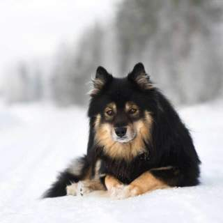 Finnish Lapphund Lying in the Snow