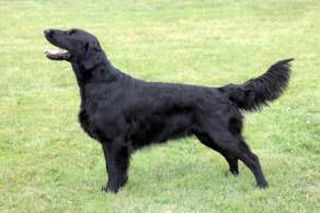 Black Flat-Coated Retriever