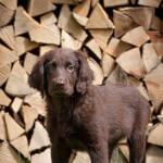 Liver Flat-Coated Retriever Puppy