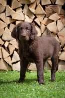 Liver Flat-Coated Retriever Puppy