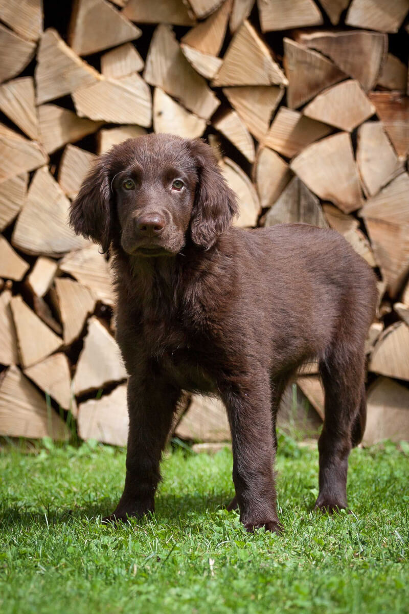 Flat Coated Retriever Dog Breed 187 Everything About Flat