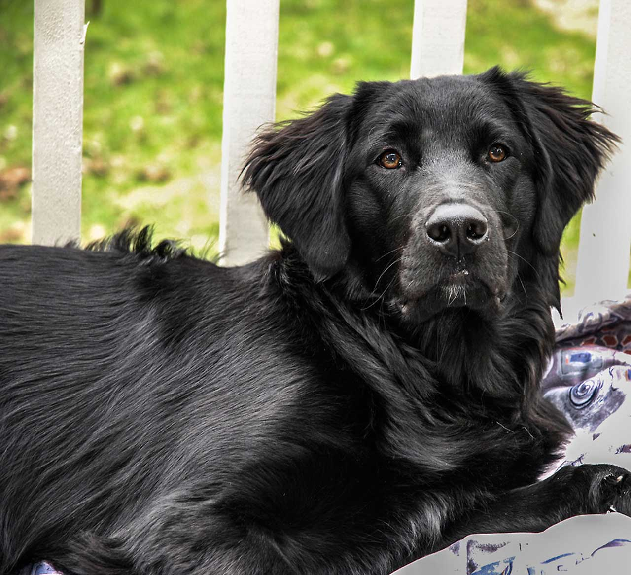 black coated retriever coloring pages - photo#15