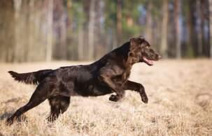 Liver Flat-Coated Retriever Running