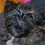 Fourche Terrier Dog Breed
