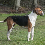 Tri-Color Foxhound