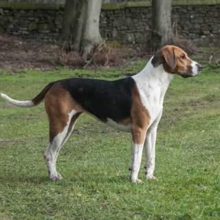 Tri-Color Foxhound