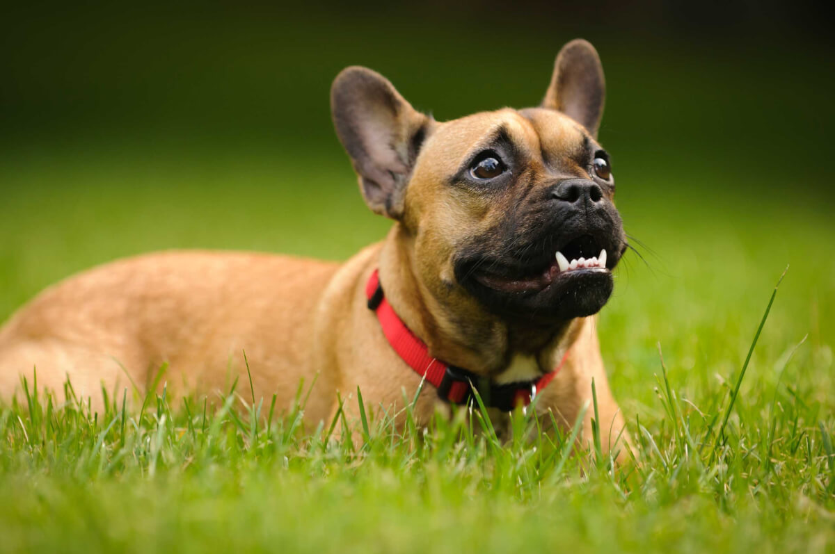 French Bulldog Dog Breed » Information, Pictures, & More