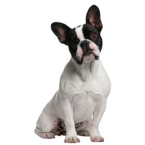 French Bulldog Dog Breed