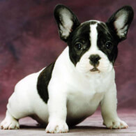 White & Black French Bulldog