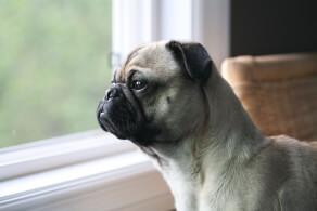 Cream Frenchie Pug