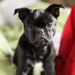 Frenchie Pug