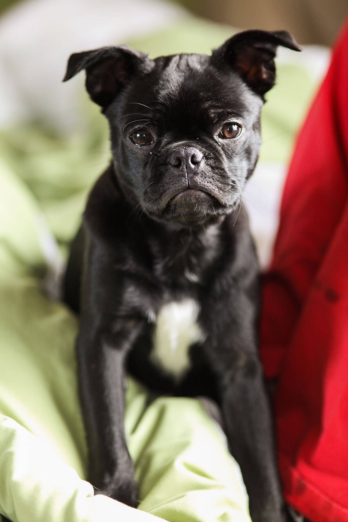 Frenchie Pug Dog Breed Information Pictures More