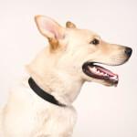 Yellow Gerberian Shepsky Dog breed