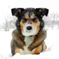 Tri-Color Gerberian Shepsky Dog