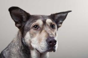 Black & Wheaten Gerberian Shepsky Dog