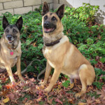 Tan German Malinois