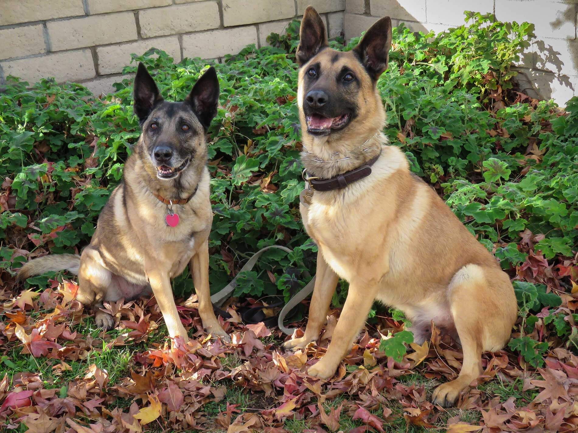 German Malinois Dog Breed » Information, Pictures, & More