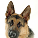 Black & Tan German Shepherd