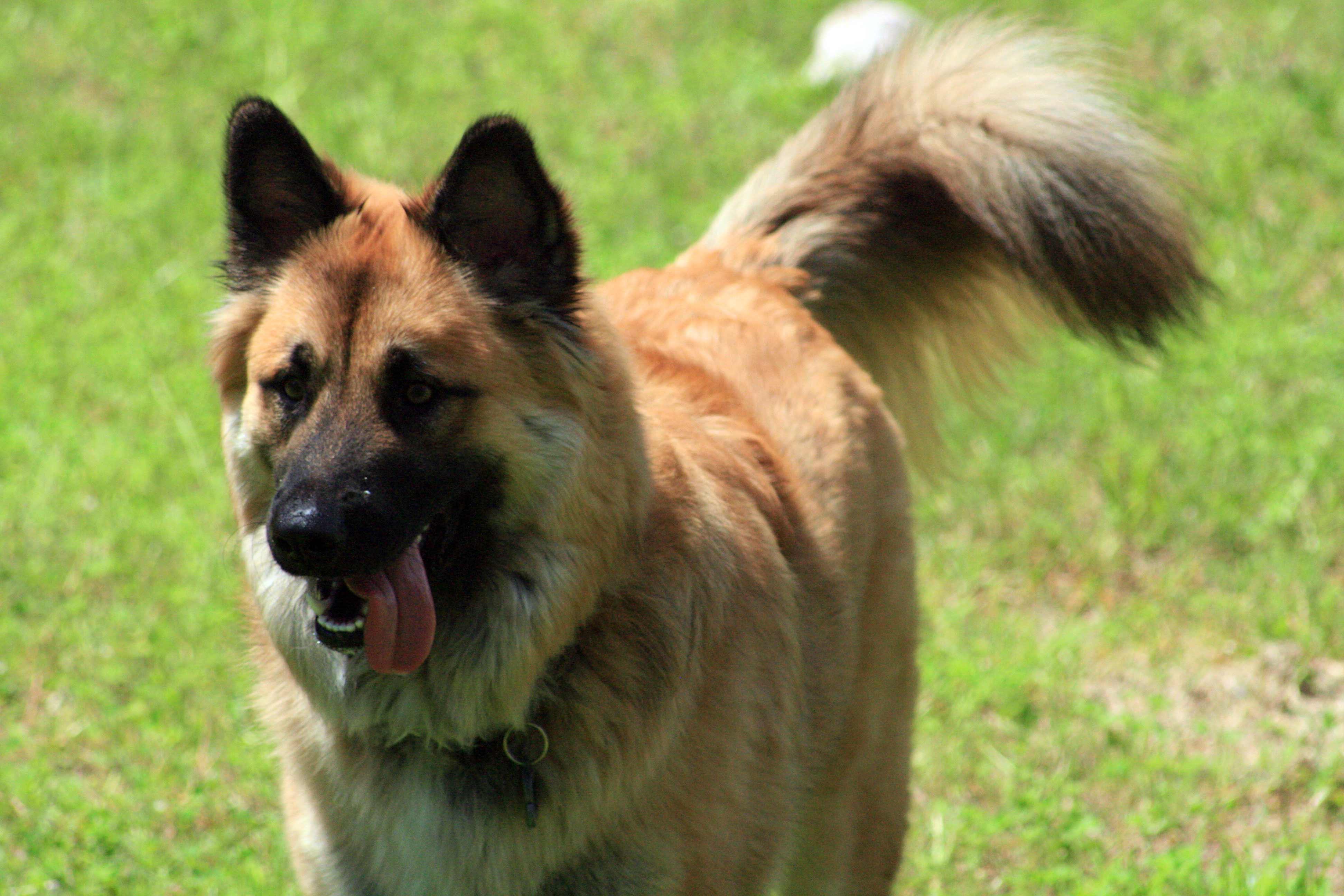 german shepherd dog breed  u00bb information  pictures   u0026 more