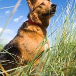 Sable German Sheprador (German Shepherd x Lab)