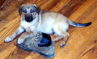 Cream German Sheprador Puppy