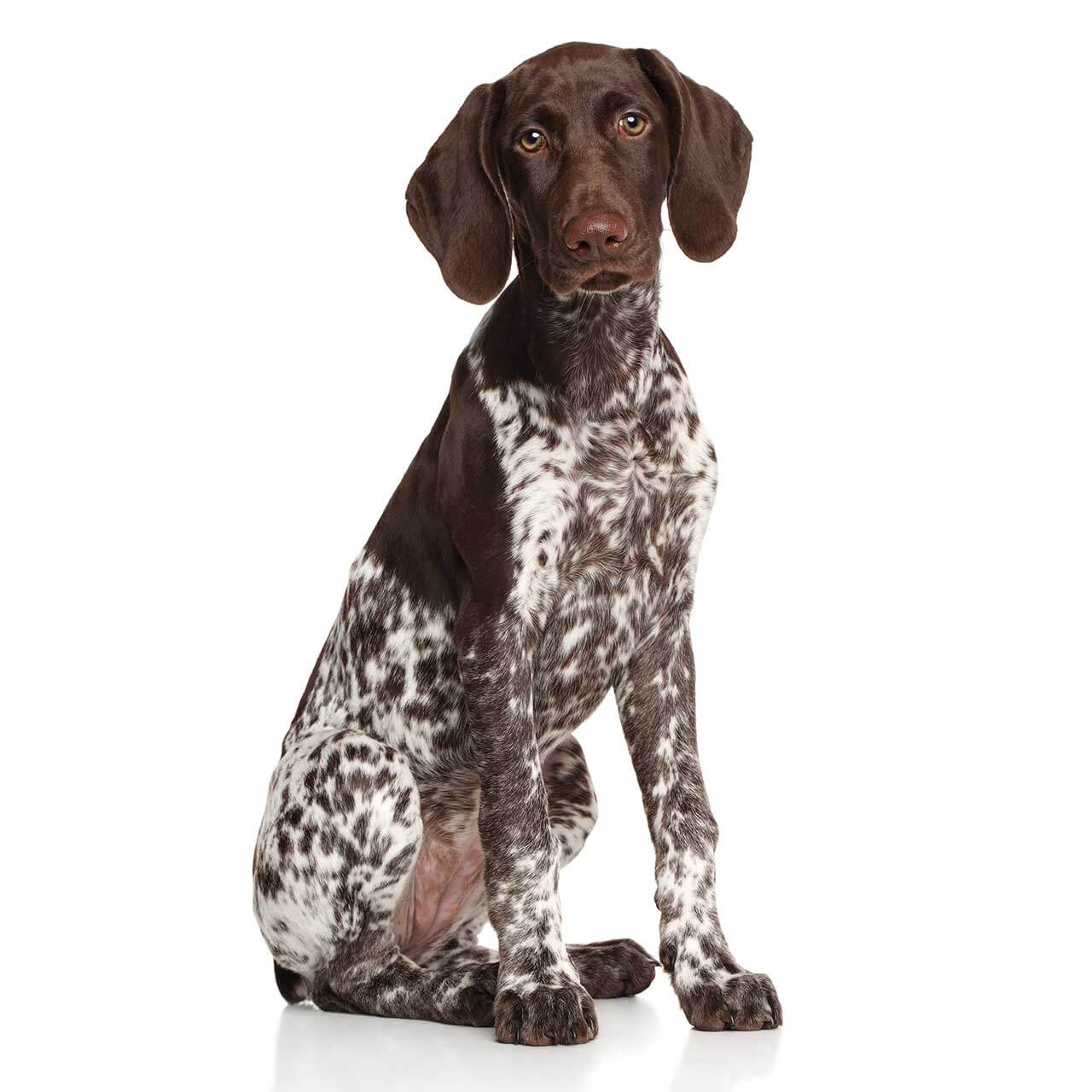Pocket German Shorthaired Pointer