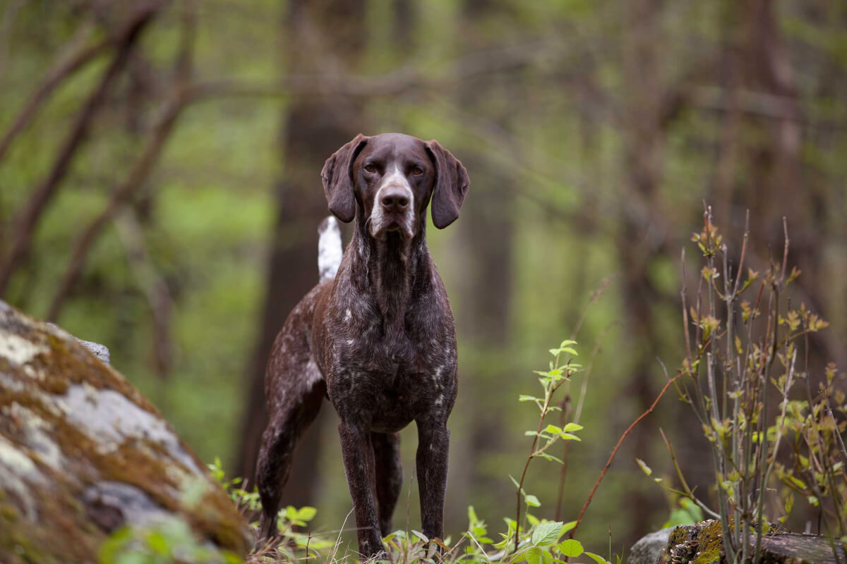 German Shorthaired Pointer Dog Breed 187 Everything About German Shorthaired Pointer