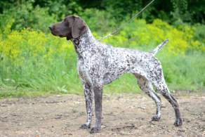 White and Liver German Shorthaired Pointer
