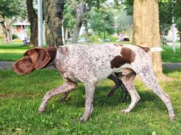 Liver and White German Shorthaired Pointer
