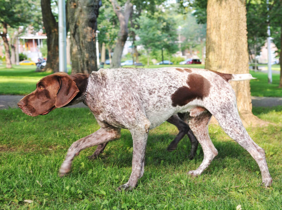 German Shorthaired Pointer Dog Breed » Everything About