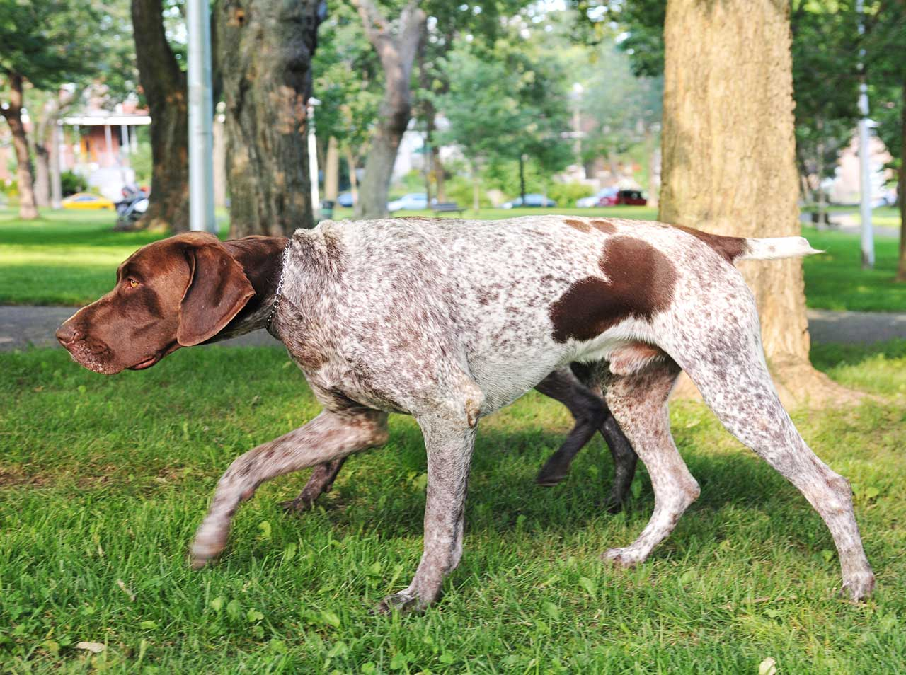 German Shorthaired Pointer Dog Breed » Everything About ...