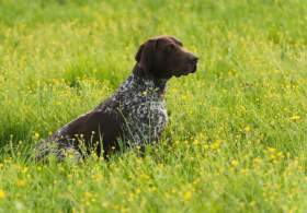 Liver and White German Shorthaired Pointer in Grass