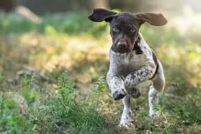 Liver and White German Shorthaired Pointer Puppy Running