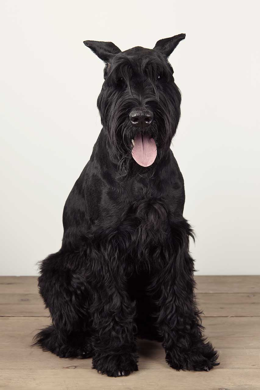 Giant Schnauzer Dog Breed 187 Everything About Giant Schnauzers