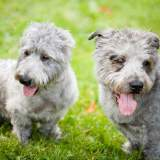 Two Glen of Imaal Terriers Outside