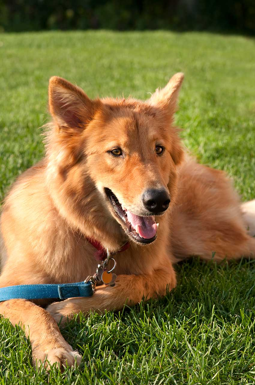Goberian Dog Breed 187 Everything About Golden Retriever